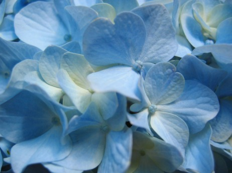 blue_hydrangea_flower__close-up_photography